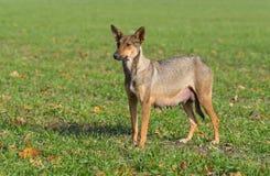Tillfällig kvinnlig hund som ser i avstånd med hopp Arkivfoton