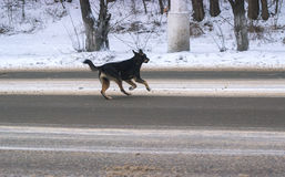 Tillfälliga hundar på gatan royaltyfria foton