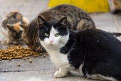Tillfälliga katter från Istanbul som äter torr mat på gatorna, en av katterna som ser kameran Arkivfoto