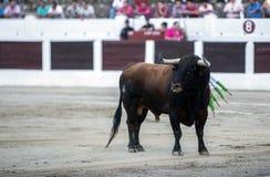 Tillfångatagande av diagramet av en modig tjur i en tjurfäktning, Spanien Royaltyfri Fotografi