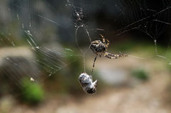 Tillfångatagandet för spindel` s Arkivfoto