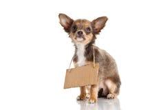 Tillfogar den roliga älsklings- chihuahuaen för hunden som isoleras på vit bakgrund med teckenbrädet för Royaltyfria Bilder