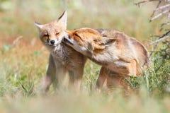 Tillgivna par av rävar Arkivbild