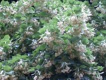 tilliae ανθών flores Στοκ Φωτογραφίες