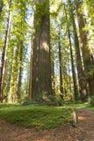 tillstånd för humboldtparkredwoodträd Arkivfoton