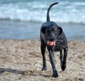 Tilltalande boll för hund royaltyfria foton