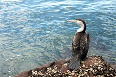 Tilltrasslad australiensisk Pied Cormorant (Phalacrocoraxvarius) i Nels Royaltyfri Foto