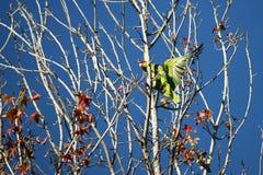 Tilltrasslad papegoja Arkivbild