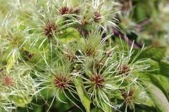 Tilltrasslade blomningar av den jungfruliga för bersåamerikan för ` s vildblomman Royaltyfri Bild