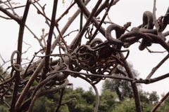 tilltrasslade kiwivinrankor Royaltyfria Bilder