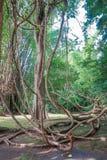 Tilltrasslade lianer i skogen Arkivbilder
