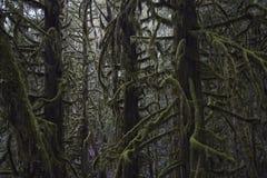 Tilltrasslade Mossa-täckte träd Royaltyfri Bild