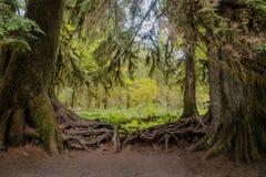 Tilltrasslat rotar av träd i Hoh Rain Forest, olympisk nationalpark Arkivfoto