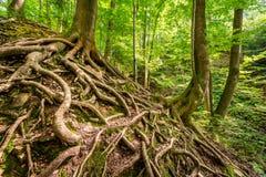 Tilltrasslat rotar av träd i skogen Royaltyfri Fotografi