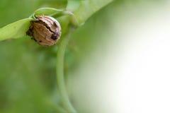 Tillväxt av kardemumman, kärna ur framkallar in i en hel växt Fotografering för Bildbyråer