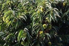 Tillväxt av kastanjebruna frukter Royaltyfri Fotografi