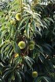 Tillväxt av kastanjebruna frukter Royaltyfri Bild