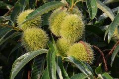 Tillväxt av kastanjebruna frukter Arkivfoto