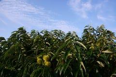 Tillväxt av kastanjebruna frukter Arkivbilder