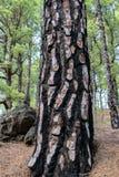 Tillväxt för trädskäll många månader efter en skogsbrand arkivfoton