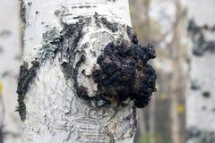 Tillväxt på björken - medicinsk champinjonchaga Arkivfoton