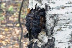 Tillväxt på björken - medicinsk champinjonchaga Royaltyfri Foto