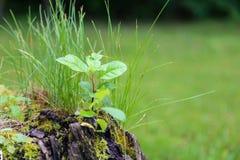 Tillväxt på en stubbe arkivfoton