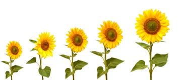 Tillväxtetapp av solrosen Arkivfoton