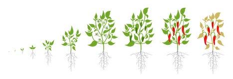 Tillväxtetapper av växten för peppar för röd chili också vektor för coreldrawillustration Annuum paprika Kajennpepparlivcirkuleri stock illustrationer