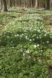 Tillväxtkoloni av trän 3 för anemon på våren Arkivbilder