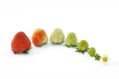 tillväxt isolerad jordgubbewhite Arkivbilder