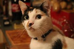 Tilly, il gatto fotografia stock libera da diritti