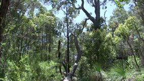 Tilt from a big tree on the ground in Margaret River Forest, Western Australia stock footage