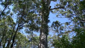 Tilt from a big tree in margaret river forest, Western Australia stock footage