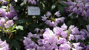 Tilt down of purple rhododendron flower blooms shine in sunlight stock video