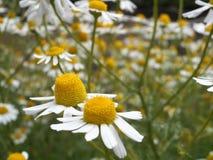 Tilt Lens Photography of Daisy Flower Stock Images