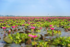 Tilt=Shift Blurred Pink Lotus on the sky lake in thailand royalty free stock photo