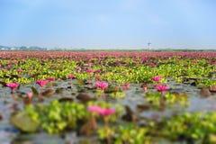 Tilt=Shift ha offuscato Lotus rosa sul lago del cielo in Tailandia Fotografia Stock Libera da Diritti