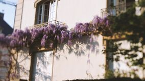 Tilt-shift lens over beautiful Wisteria plant on luxury house real estate