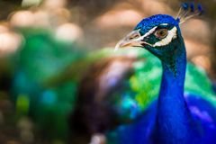 Tilt Shift Lens Photography of Blue Peacock Royalty Free Stock Photo
