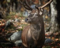 Tilt Shift Lens Photography of Deer Royalty Free Stock Photography