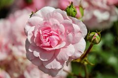 Tilt Shift Lens Photography of Pink Royalty Free Stock Photography
