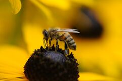 Tilt Shift Lens Photography of Yellow and Black Bee Royalty Free Stock Photos