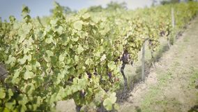 German wineyard autumn footage tilt-shift lens. Tilt-shift lens used over grape fields before harvesting the autumnal fresh vine in the vineyard in a row stock video footage