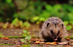 Tilt Shift Photography of Brown and Gray Hedgehog Royalty Free Stock Photos