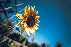 Tilt Shift Photography of Sunflower Royalty Free Stock Image