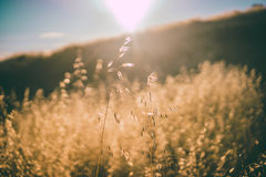 Tilt Shift Photography of Wheat during Daytime Royalty Free Stock Photography