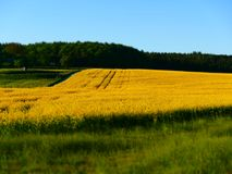 Tilt shift picture of a canola field royalty free stock photography