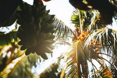 Tilt shift view of coco palm and green bananas. True tilt-shift view from bottom: an unripe huge hand of bananas in the foreground and coconut palm in the royalty free stock photo