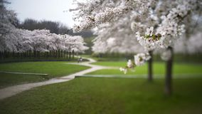 Tilt-shift view of flowering garden. Nature landscape Blooming cherry park. Shot with Tilt-shift effect Close-up view flowers in focus on foregraund blurred zone stock video